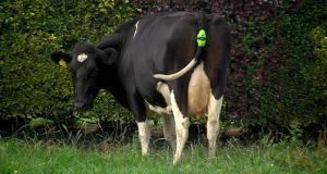 Moocall sensor on a cow.
