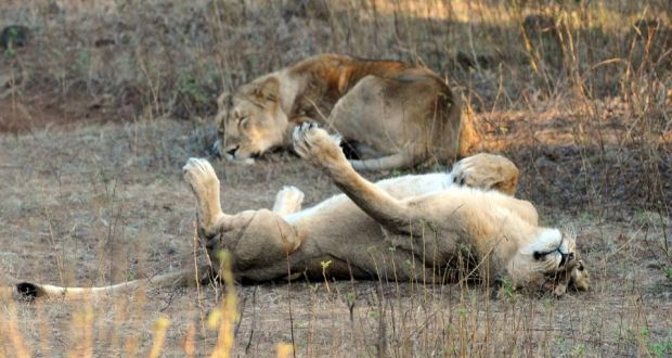 Officials privately indicated that the move to promote the Asiatic lion as the national animal was prompted more by politics than by considerations of either conservation or national pride. Photograph: Indranil MukherJee/AFP/Getty Images