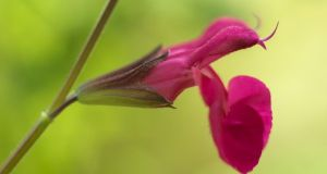 The shocking pink flowers of Salvia 'Cerro Potosi'. Photograph: Richard Johnston