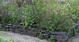 'Salvia Amistad' and 'Cerro Potosi'; growing together in an Irish garden. Photograph: Richard Johnston