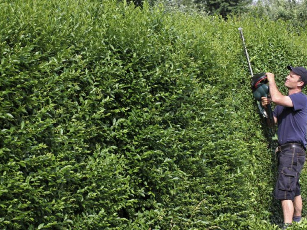 How can i get my neighbour to cut his leylandii hedge spiritdancerdesigns Choice Image