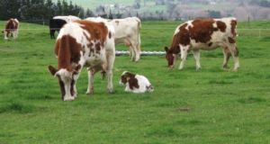 The cow in the suspected BSE case was a Rotbunt cow, a rare pedigree breed is from a Louth farm well-regarded for its standards.