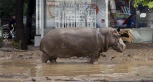 A hippopotamus walks across a flooded street in Tbilisi. Photograph: Beso Gulashvili/Reuters