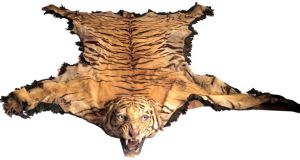 The tiger skin, which has been carefully preserved, was brought home to Ireland as a souvenir of the British Raj