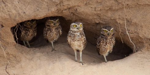 Gold medal: Burrowing owls in Brazil by Eamon Quinn, Howth