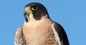The number of peregrine falcons, which faced extinction in the 1950s and 1960s, has skyrocketed in recent years mainly due to the availability of nesting sites in high rise structures such as at Poolbeg.