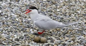 Biosphere experiment: the shingle on the pontoon in Dublin Bay mimics the unevenness of terns' natural nesting sites. Photograph: John Fox