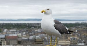 'When we started closing the dumps, many gulls moved into the cities themselves, and became increasingly bold in scavenging food from humans.' Photograph: Getty Images
