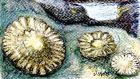 Limpets: Aristotle noted their mysterious powers of navigation. Illustration: Michael Viney