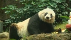 Life begins at 37 for world's oldest panda