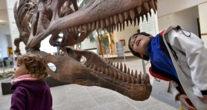 Easy eating: a  boy peers inside the skull of a Tyrannosaurus rex replica. Scientists believe serrated teeth let them chomp efficiently through the flesh and bones of large prey. Photograph: Maxi Jonas