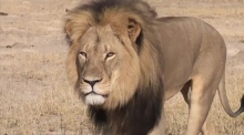 Cecil the lion at Zimbabwe's Hwange National Park