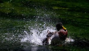 A duck enjoys the cool water in the afternoon sunshine through Westgate Gardens in Canterbury, Kent, England on Sunday. Photograph: Gareth Fuller/PA