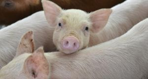 Four hundred piglets and 36 sows have died in a major fire on a pig farm in Tyrone.