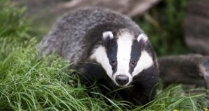 The research hypothesis was that those taking action against badgers might actually contribute to maintaining bovine TB. Photograph: Getty Images