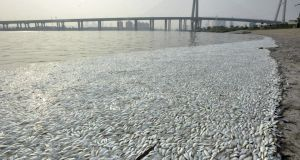 Dead fish  on the banks of Haihe river at Binhai new district in Tianjin, China, August 20th, 2015. Photograph: Reuters