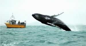 Noise pollution  can transmit across thousands of square kilometres of ocean, causing physical injury, disorientation and death to whales and dolphins. Photograph: Simon Duggan/Provision