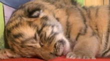 Siberian tiger gives birth to quadruplets