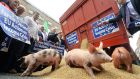 Piglets feeding on grain at the IFA protest outside the European Commission offices in Dublin yesterday. Photograph: Dara Mac Dónaill