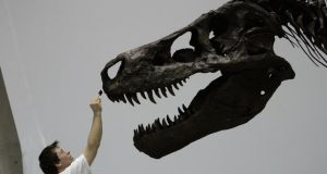 A Tyrannosaurus rex skull at the National Science Museum in Tokyo. Tyrannosaurus's bite was nearly three times stronger than a crocodile's. File photograph:  Toshifumi Kitamura/AFP/Getty Images