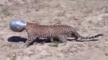 Spot of bother: wild leopard gets head stuck in metal pot
