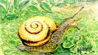 Snack time: a snail on petalwort. Illustration: Michael Viney