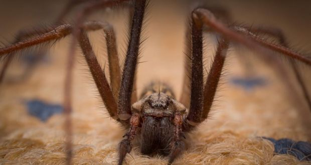 Spiders in your house? Relax, they're just looking for love