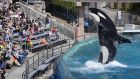 Visitors are greeted by an orca killer whale as they attend a show featuring the whales during a visit to SeaWorld in San Diego  in  March 2014. Photograph: Mike Blake/Reuters