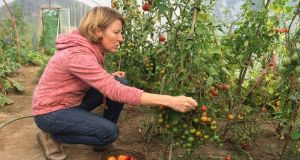 DAY 2: Lisa Fingleton harvests tomatoes in her polytunnel near Ballybunion, Co Kerry