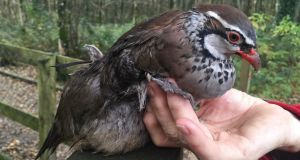 Red-legged partridge: the bird that Esther De Groot found in Co Wicklow