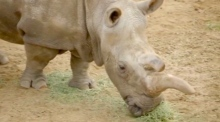 Endangered rhino dies, leaving just three worldwide