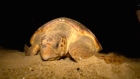 Endangered sea turtles under threat from contaminated mud