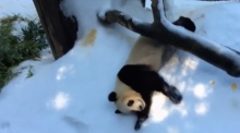 Snow loving panda becomes internet star