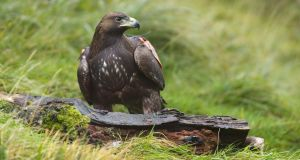 Only two golden eagle chicks were born in 2015 and neither survived more than a few weeks.  Photograph: Mike Brown