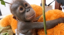 Adorable baby orangutan recovers from near death