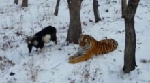 Dinner date: tiger befriends intended meal