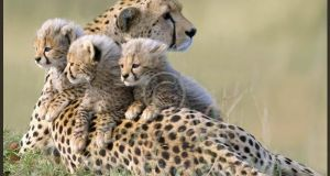 """The most amazing thing of all was seeing a mother cheetah teaching her three cubs how to hunt impala, a species of antelope. Our guide had never encountered it before"""