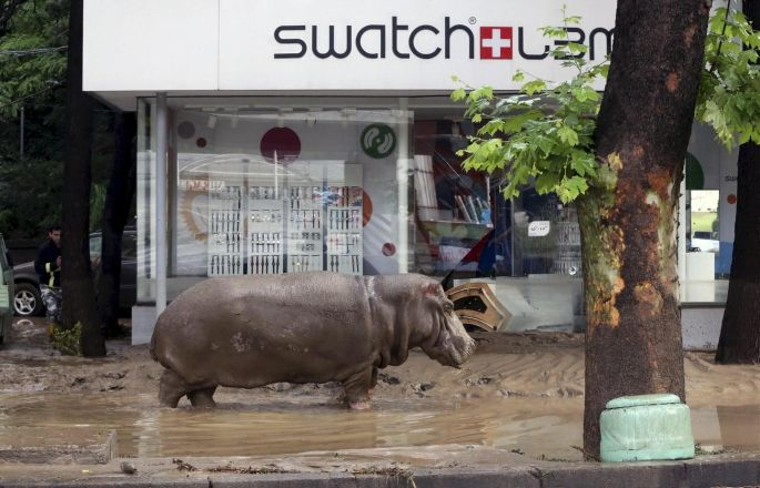 Watch out – a hippopotamus walks across a flooded street in Tbilisi, Georgia in June, as floods left 19 dead and caused severe damage to the city zoo. Photograph: Beso Gulashvili/Reuters