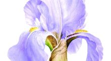 Preliminary watercolour study  of Iris 'Killiney' by botanical artist Jane Stark. (Drawing courtesy of ISBA)