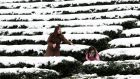 A mother and daughter play in snow on a tea plantation in the Pinglin mountain area of New Taipei City, Taiwan on  Monday. An unusually cold weather front that caused sudden drops in temperatures has been blamed for killing more than 50 people in Taiwan. Photograph: Wally Santana/AP.