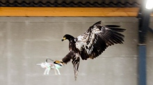 Wing of the law: Dutch police train eagles to down drones