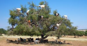 Year--round menace: goats climb argan trees for food, particularly in dry winters. Photograph: Perry McKenna/Getty Images