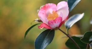 My latest fascination has been Camellia sasanqua cultivars. The flowers appear in autumn, the plants are much more elegant in habit than their spring-flowering counterparts, Camellia japonica, and have sweet scented flowers.