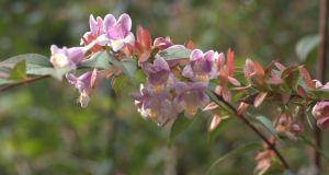 At the moment we are running a trial on Abelia in Holland. But the good old Abelia engleriana is still a favourite