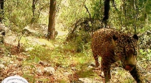 Solitary cat: only known wild jaguar in the US caught on camera