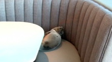 Hungry sea lion spends night in San Diego restaurant