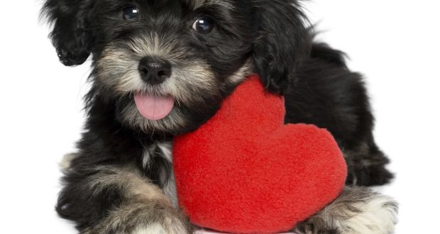 Another Valentine's Day rolling around and the most love you are likely to experience is from your neighbour's friendly dog.  Photograph: Getty Images/iStockphoto