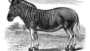 Lizzie comes across a now-extinct quagga (half zebra, half donkey) in the zoo. Like this animal she is two halves of different things. Photograph: Ann Ronan Pictures/Print Collector/Getty Images