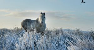 A  horse stands still in the snow on Black mountain last month  in Belfast. Photograph:   Charles McQuillan/Getty Images