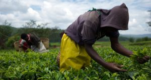 Fairtrade: labourers pick tea in the Sorwathe plantations in Rwanda. Photograph: Phil Moore/AFP/Getty